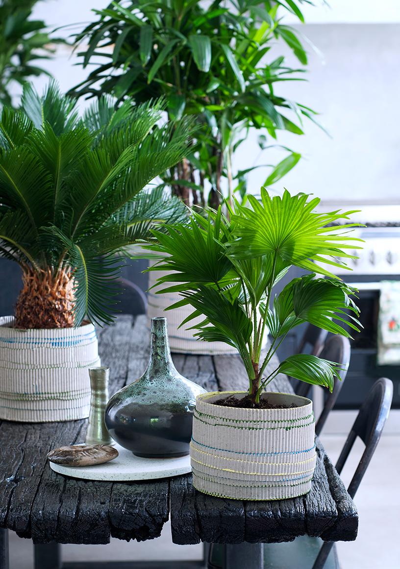 Pflanzenfreude-Harmonise-Palmen_Pflanzen