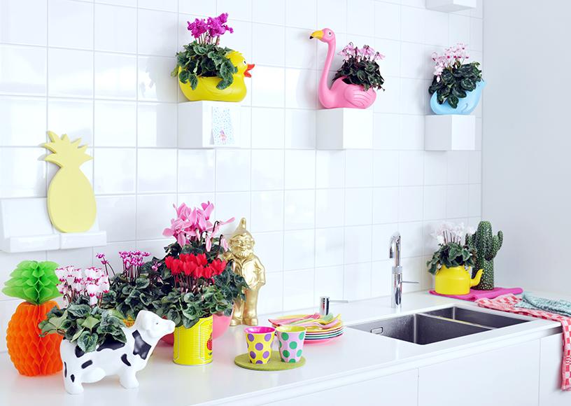 Rebel-Alpenveilchen-Bluete-Zimmerpflanzen-froehlich