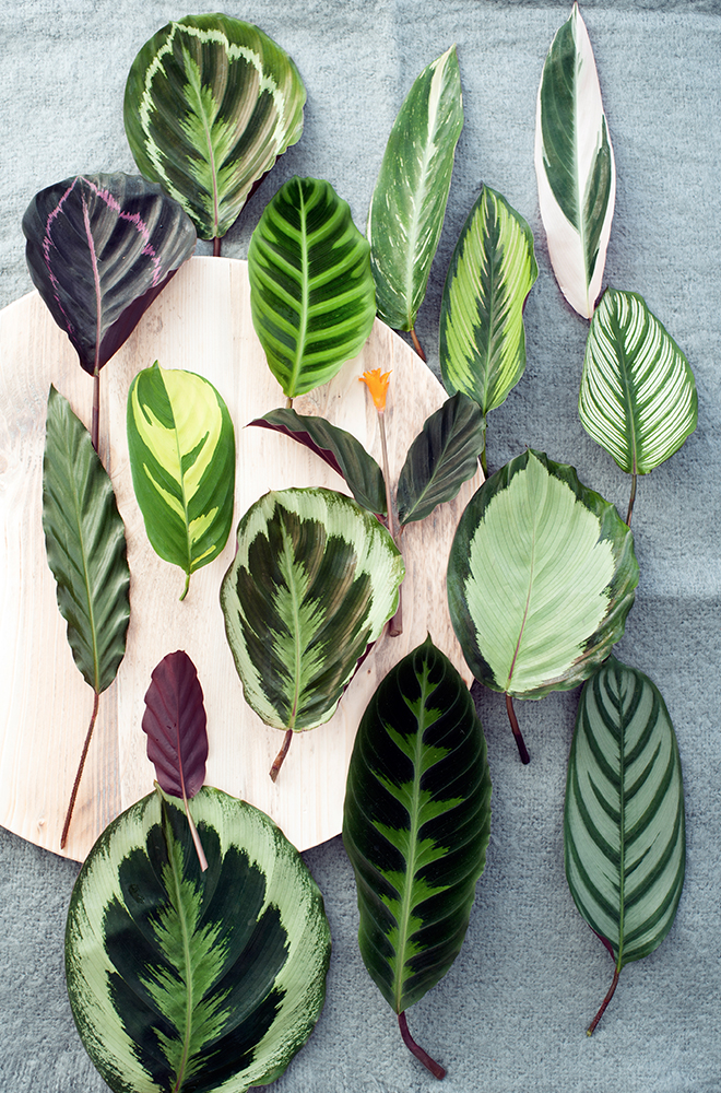 Different leaves of Calathea lying on a round piece of wood. Picture by Pflanzenfreude