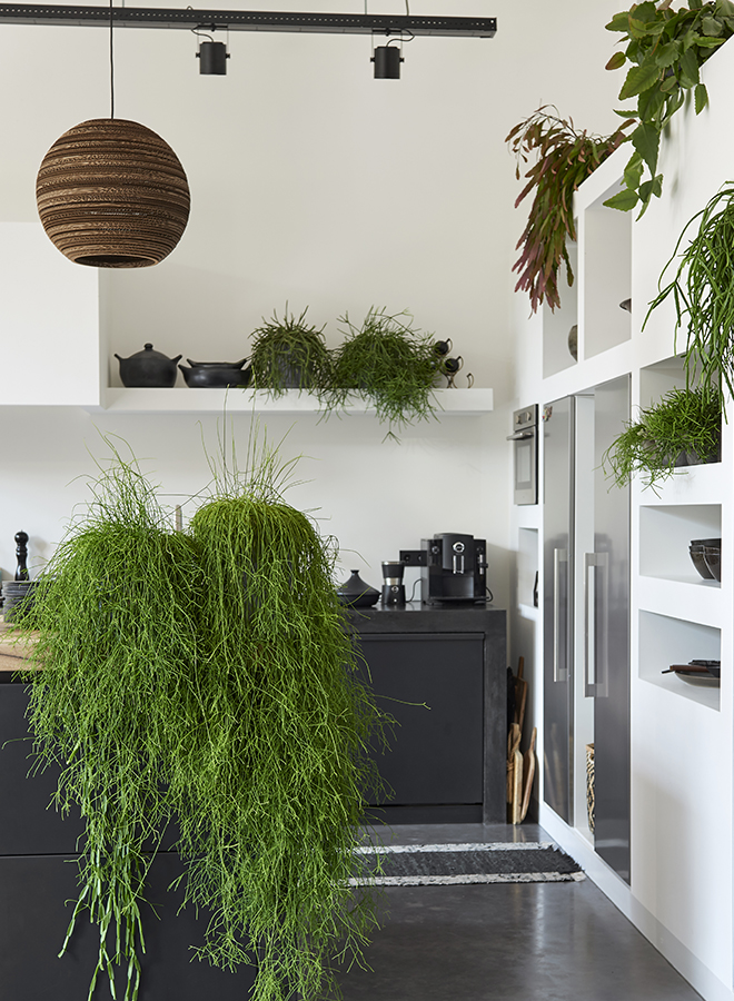 Rhipsalis standing on a counter and growing to the bottom. Alongside several different plants in a kitchen. Picture by Pflanzenfreude